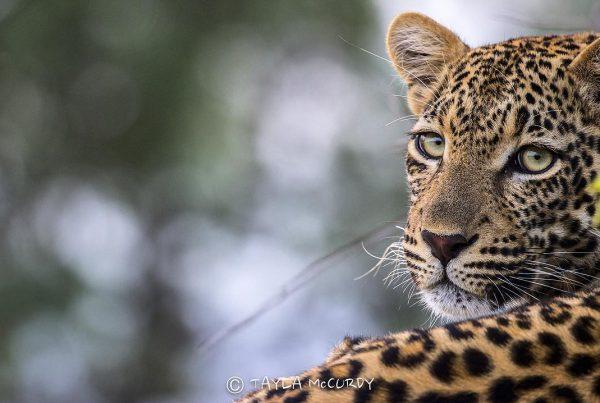 Tayla McCurdy - African safari
