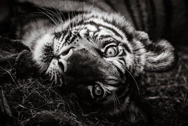 Elliott Neep - tigers in India