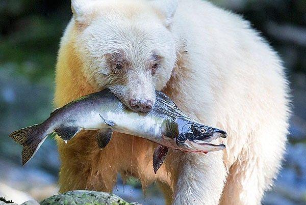 John Marriott - spirit bears grizzlies and wolves