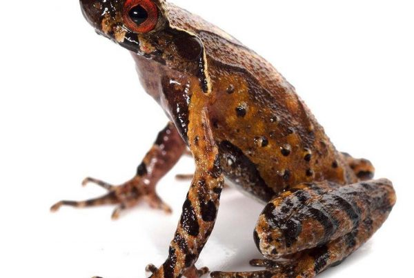Dr Jodi Rowley - discovering new frogs