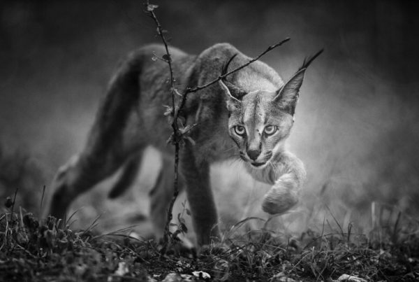 Federico Veronesi - tracking the elusive caracal